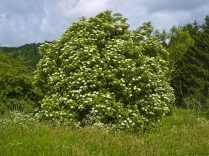 Schwarzer Holunder (Sambucus nigra) als Solitärbaum Von Willow - Eigenes Werk, CC BY 2.5, https://commons.wikimedia.org/w/index.php?curid=2643905
