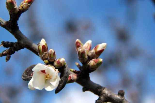 fleur d'amandier de provence en écloson à montelimar