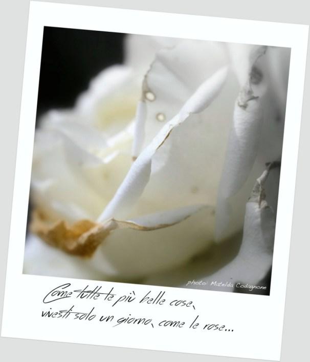 """Rosa bianca """"... e come tutte le più belle cose vivesti solo un giorno, come le rose..."""" La canzone di Marinella, (Marinella's song) Fabrizio De Andrè   photo: ©MateldaCodagnone"""