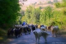 pastori-pecore-e-capre_©mateldacodagnone