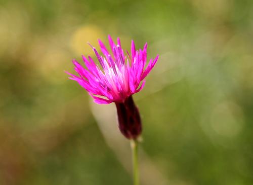 little-flower