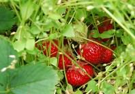 strawberries at Apple Barn