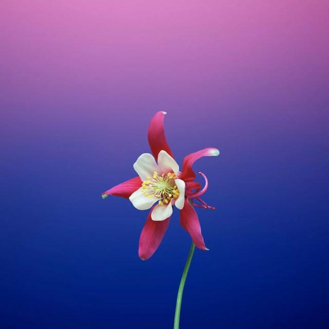 ios_11_gm_wallpaper_flower_aquilegia.jpg