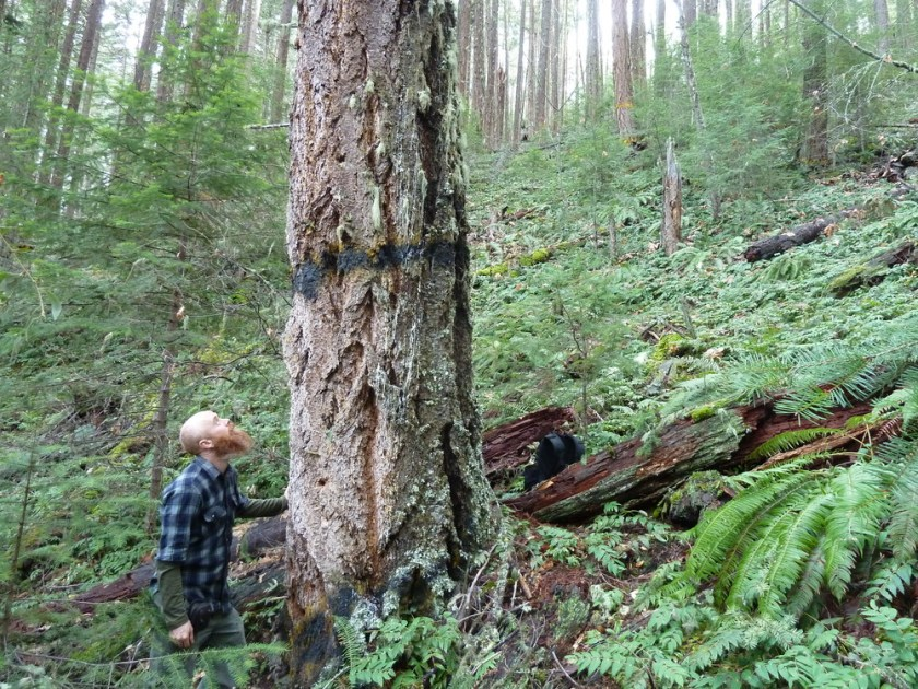 A large, old tree marked for removal in unit 35-32 at the headwaters of Grouse Creek. This lush old forest would be logged to 40% canopy cover in Alternative 4.