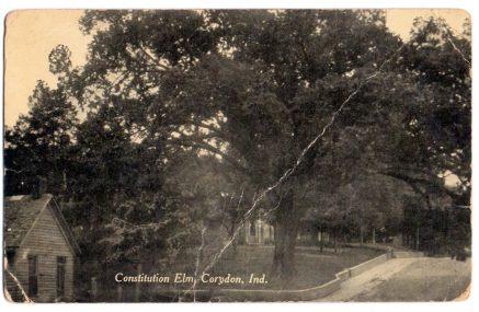 Constitution Elm in Corydon