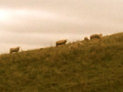 sheep on blaker ridge