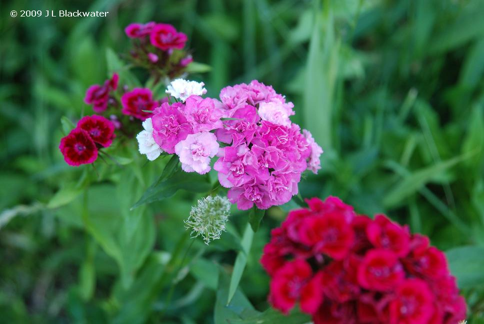 Dianthus Awaits the Butterflies, Copyright © 2009 Jade Leone Blackwater