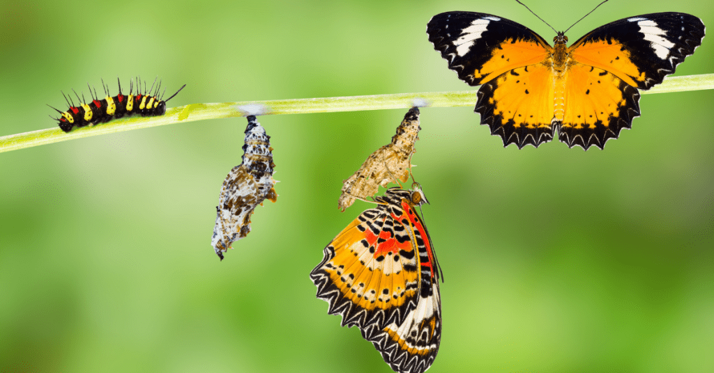 The process of a caterpillar turning into a butterfly