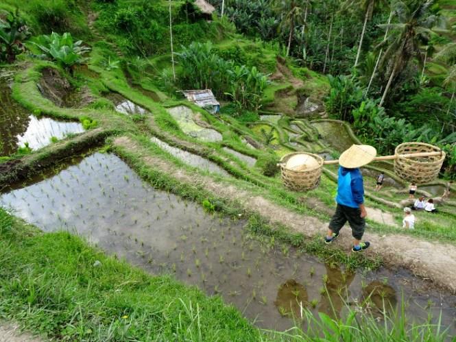 bali ubud tegallalang ricefarmer