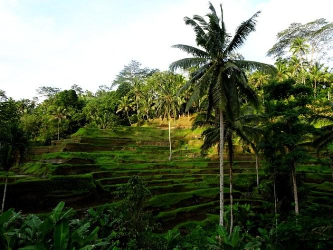 ubud tegallalang ricefield