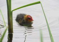 Coot chick