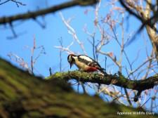 GSW on Jan bird survey