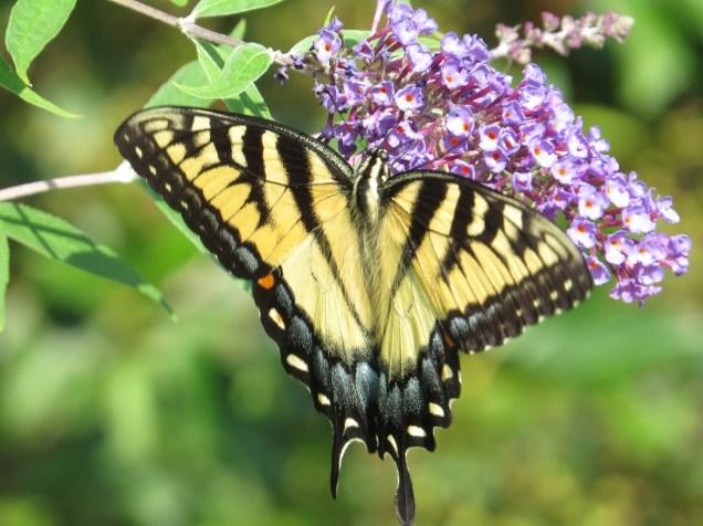 Butterfly USA
