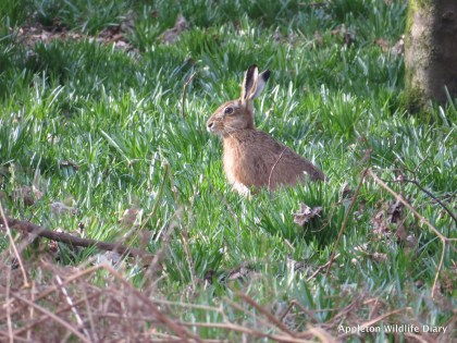 Hare with bluebell shoots