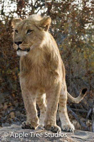 Apple Tree Studios Lions10