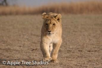 Apple Tree Studios Lions16