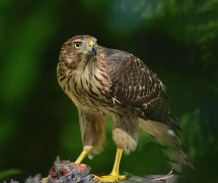 the coopers hawk new jersey
