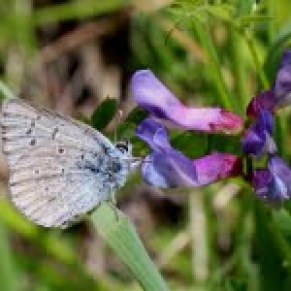 A male Fender's blue butterfly feeding on nectar from a vetch flower
