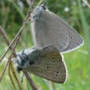 Silvery blue butterflies lack the second outer row of dots on the underside of the wings
