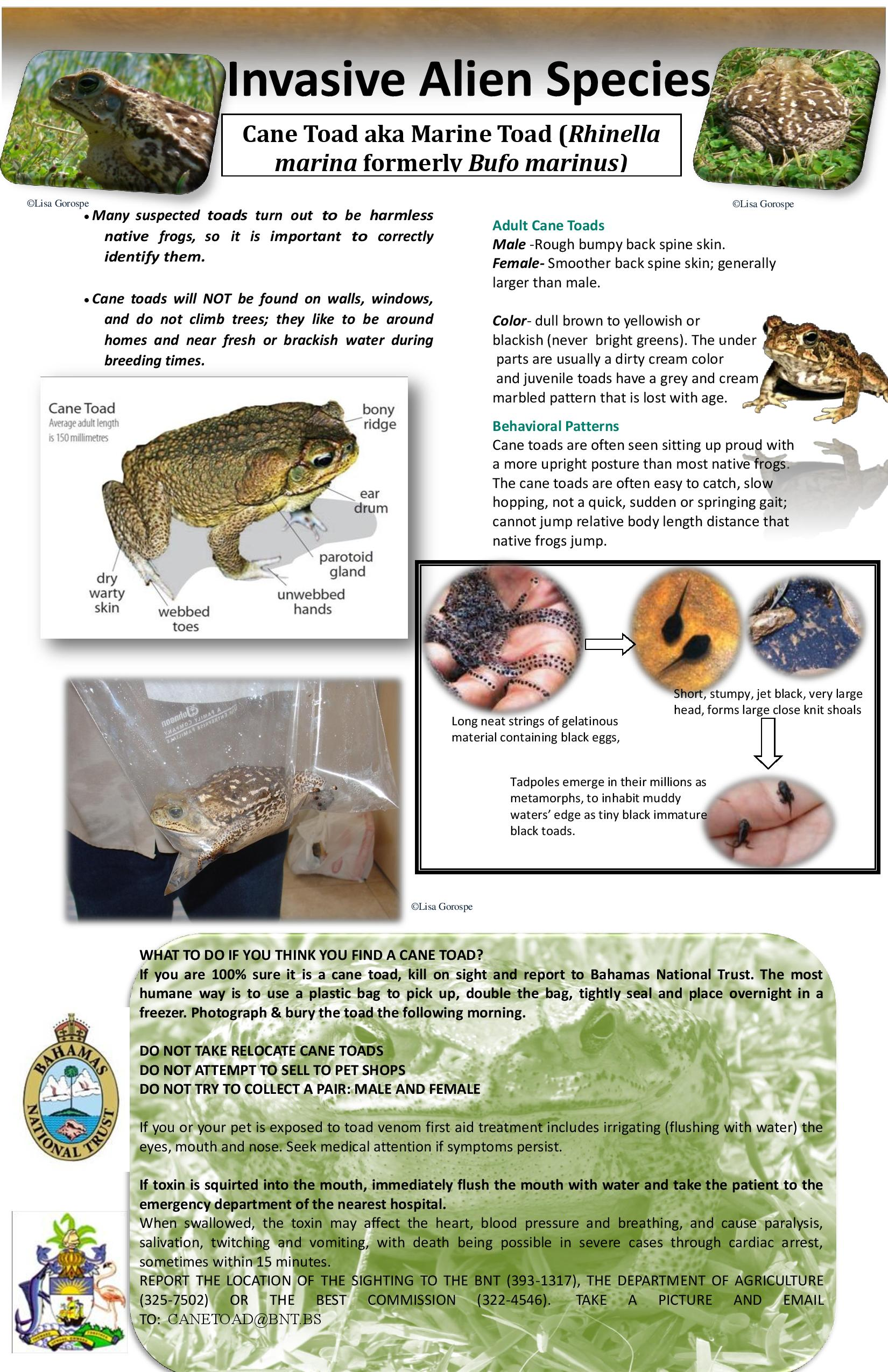 Bnt Cane Toad Poster Abaco Scientist