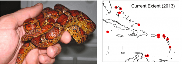 Adult corn snake found on Abaco in December 2013. Map shows the current extent of introduced populations of corn snakes in the region.