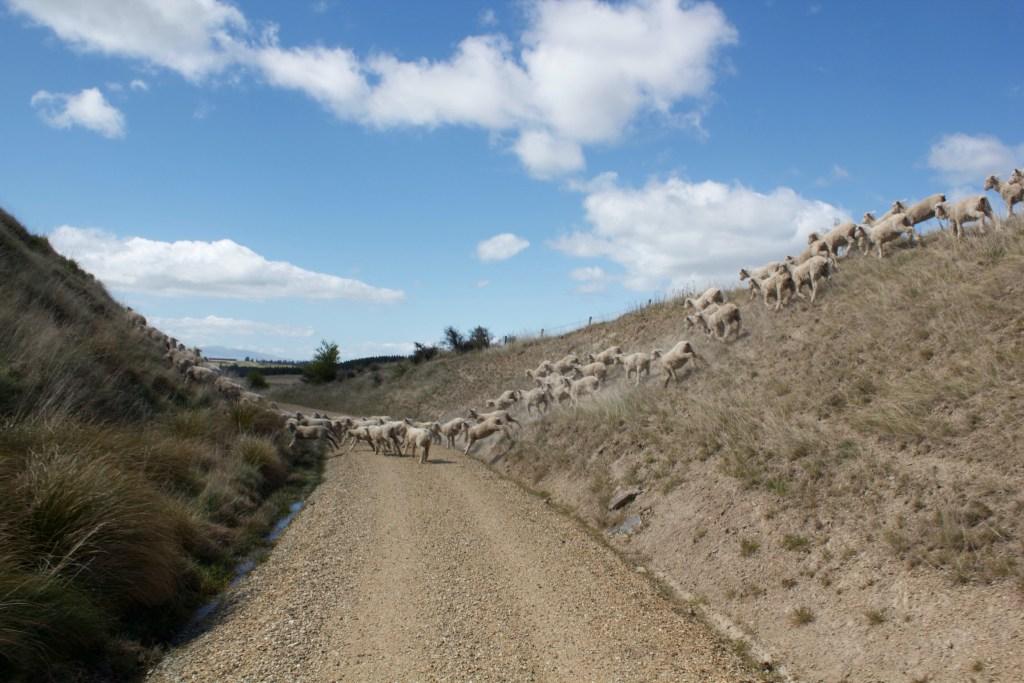 sheep crossing bike trail new zealand