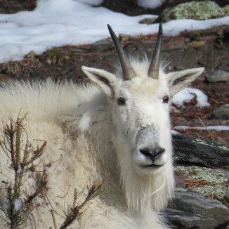 A Rocky Mountain Goat in the Black Hills of South Dakota