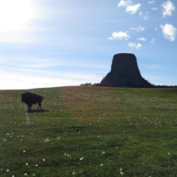 A bison grazing outside of Devil's Tower.