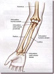 Anatomie de l'avant bras