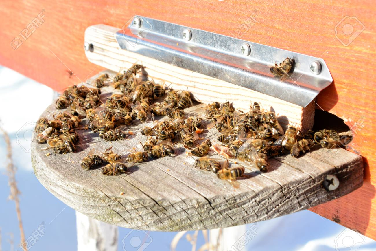 abeilles mortes du varroa