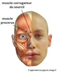 muscle procerus et muscle corrugateur