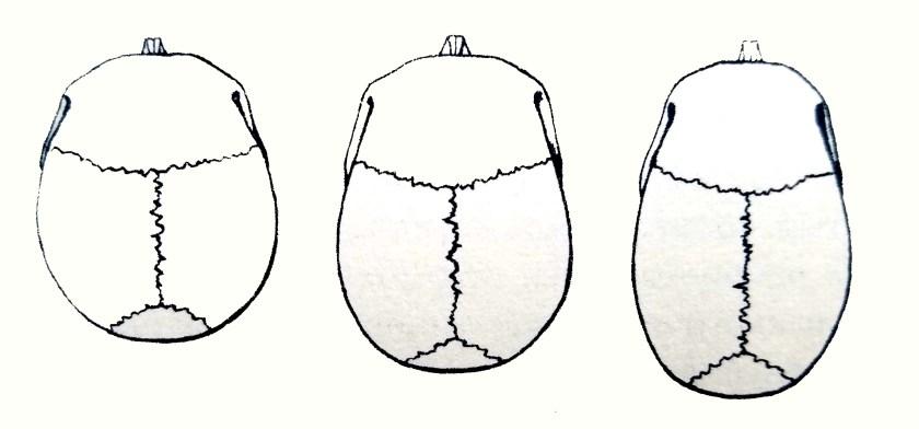 Les os du crâne. Partie crânienne
