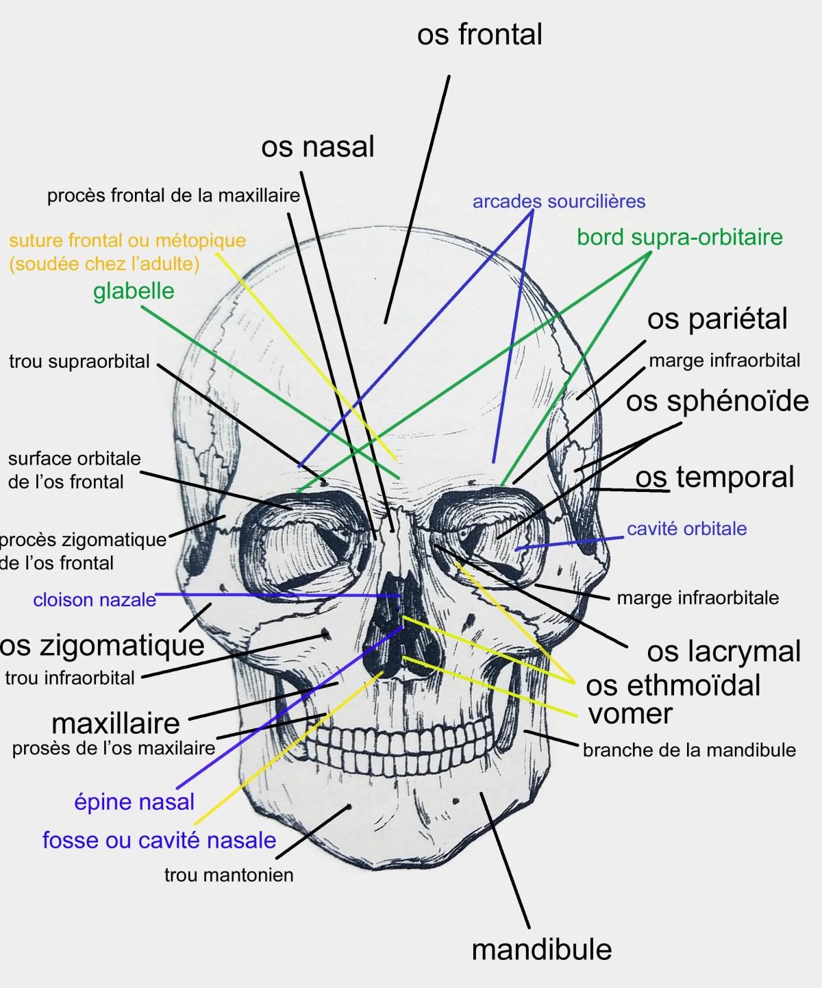 Les os du crâne.