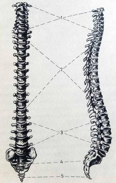 La colonne vertébrale. Anatomie artistique