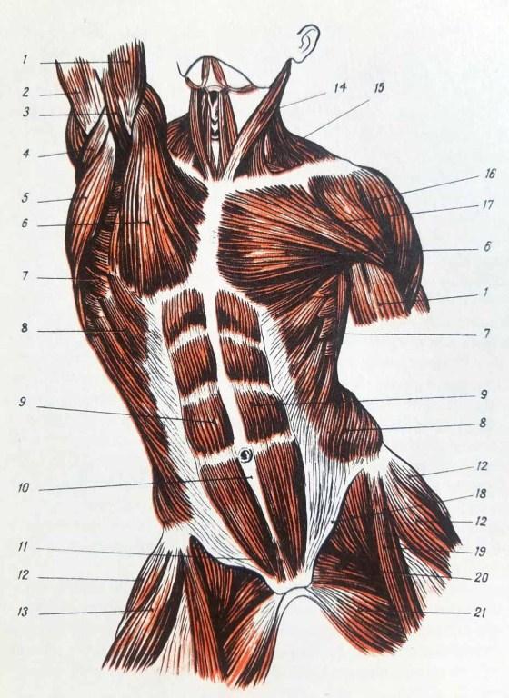Anatomie artistique. Muscles du torse humain de face