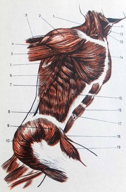 Muscles du torse humain de profil dans l'anatomie artistique