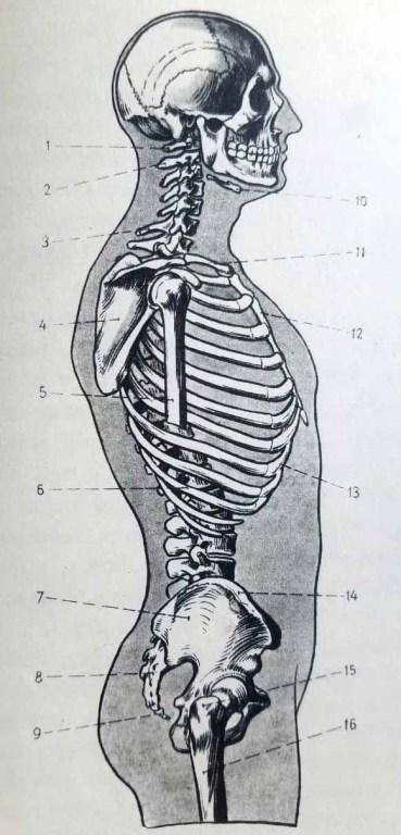 Anatomie artistique. Squelette de profil. Os du squelette du torse humain.
