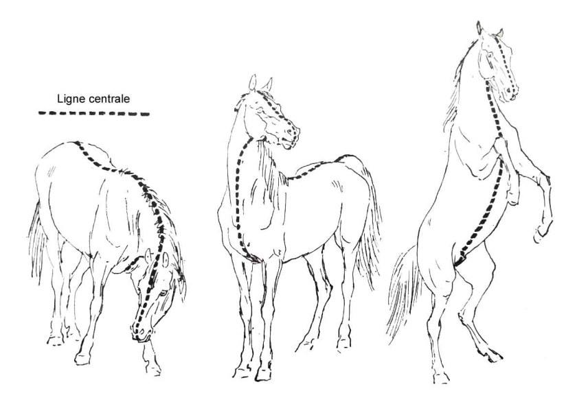Comment dessiner un cheval. La ligne centrale