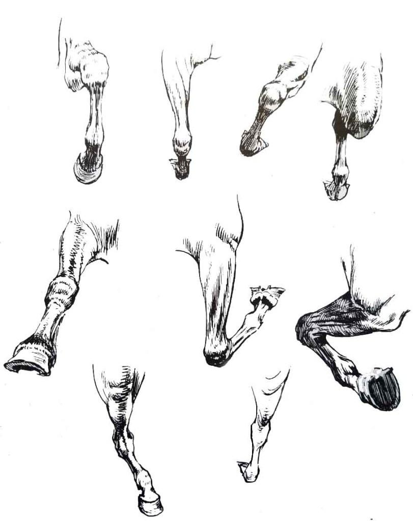 Comment dessiner un cheval.  Les jambes du cheval.