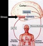 cerveau mcgill.ca stress - Pourquoi le stress chronique favorise  Alzheimer ?