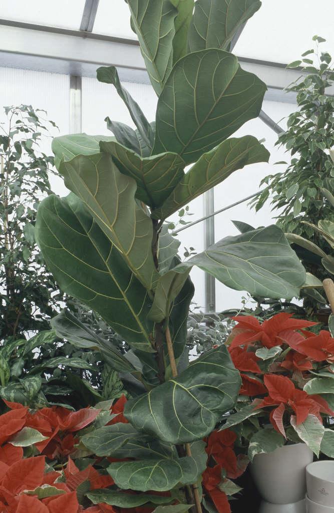 Ficus Lyrata Fiddle Leaf FigRHS Gardening