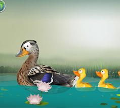 Blurb Zeealif Ducks