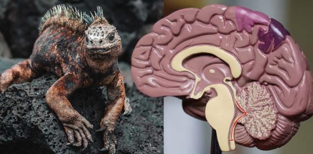 Não, você não possui um cérebro reptiliano 7