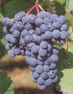 Resultado de imagen de hondarribi beltza uva