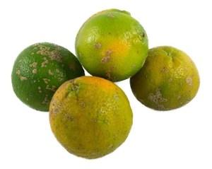 Como Plantar Limão Galego