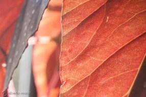 hoja-begonia