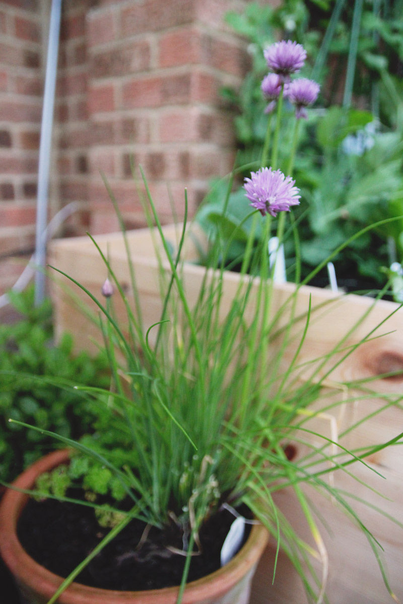 Raised Vegetable Garden Chives