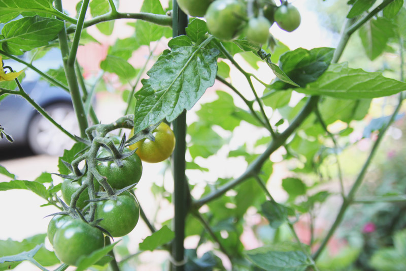 Raised Vegetable Garden Tomatoes