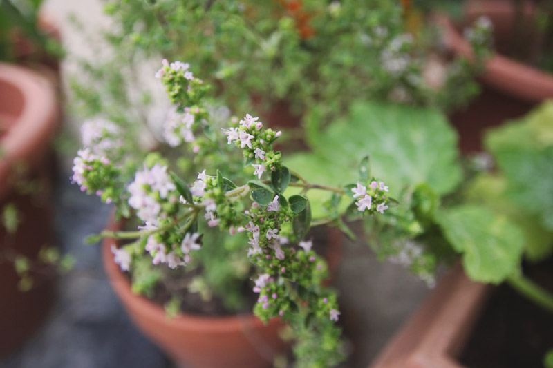 Oregano Flowers