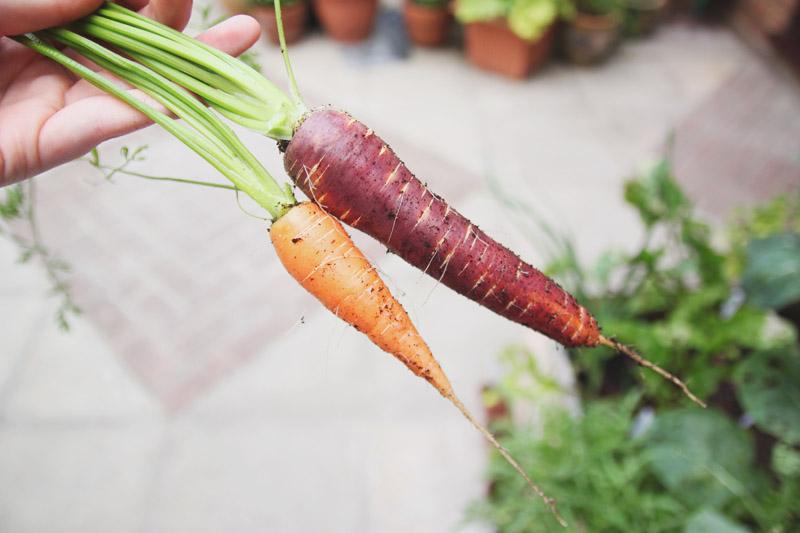 Raised Vegetable Garden Carrots: Nantes & Purple Haze